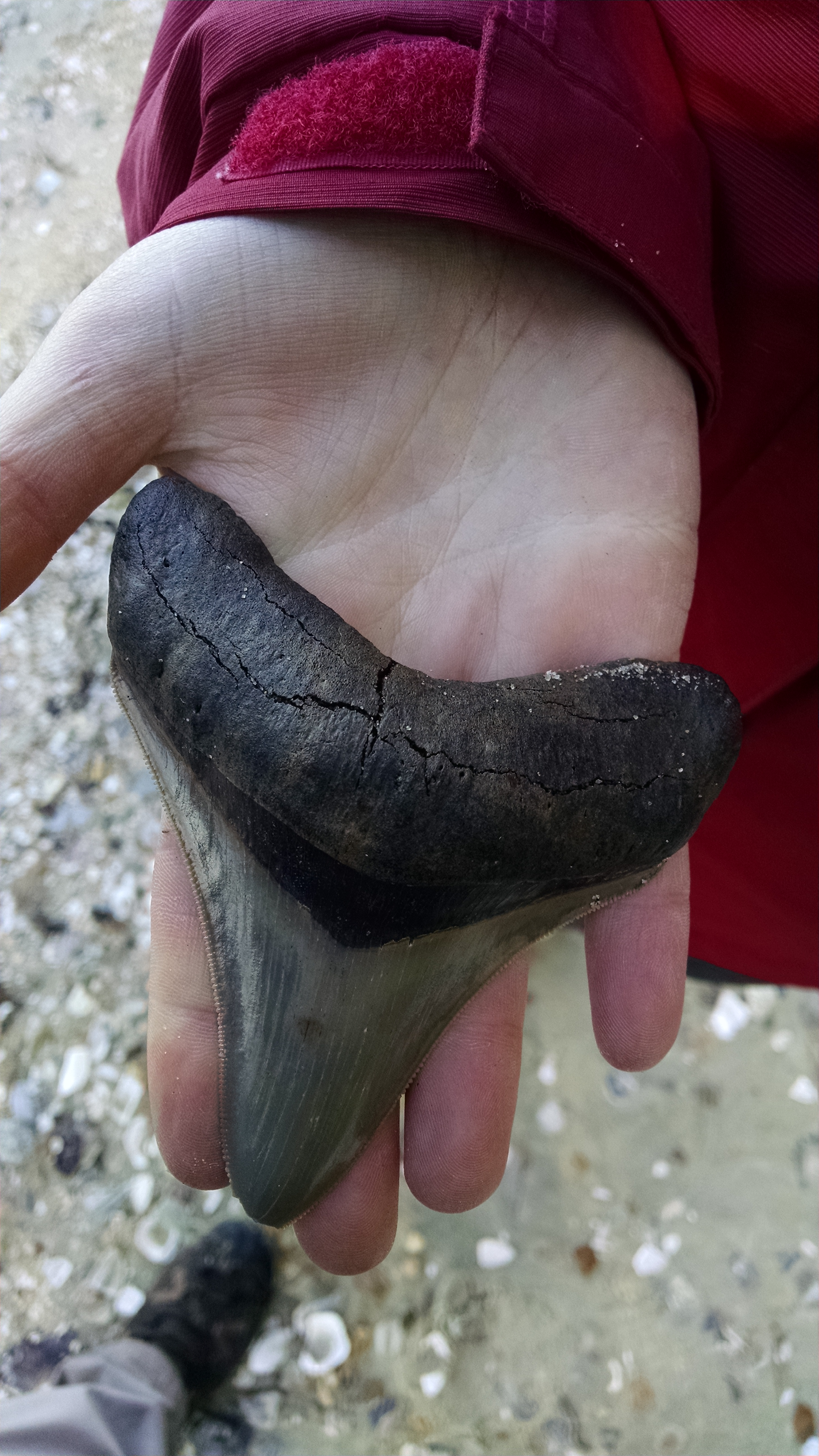 Jackie Geisler's remarkable megalodon tooth, a remarkable rarity spotted by her watchful eye!